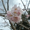 道の駅の河津桜