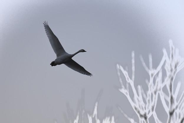 白鳥 美しき翼