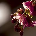写真: カワヅザクラが咲いた