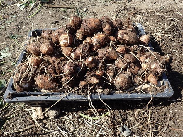 Photos: 収穫野菜6