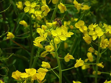 蜂と菜の花VI