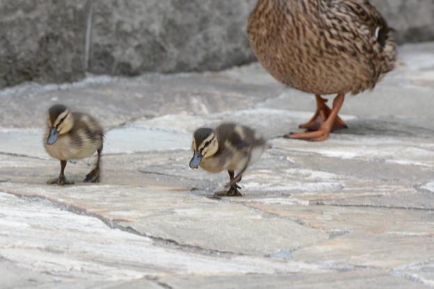 Photos: マガモの巣立ち雛