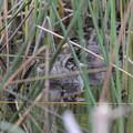 Photos: カイツブリの巣立ち雛2