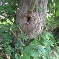 Photos: コムクドリの巣