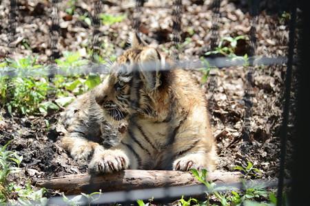 旭山動物園のアムールトラの赤ちゃん2