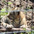 写真: 旭山動物園のアムールトラの赤ちゃん2