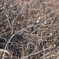 写真: アトリの群れ