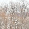 写真: 河川敷から飛び去るクマゲラ雌