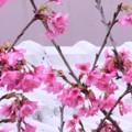 通りがかりに見た桜