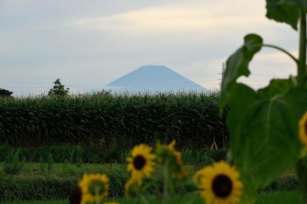 ひまわりと富士