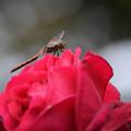 Photos: 薔薇とトンボ (2)