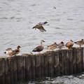 鴨たち (2)