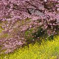 写真: みなみの桜と菜の花まつりにて