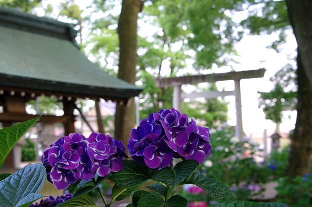紫陽花神社(2)