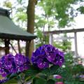 写真: 紫陽花神社(2)