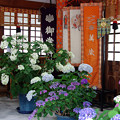 写真: 紫陽花神社(5)