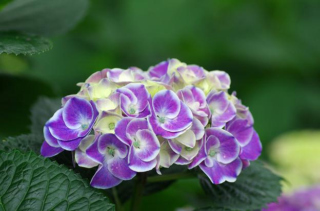 紫陽花神社(8)