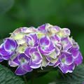 写真: 紫陽花神社(8)