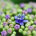 写真: 紫陽花神社(11)