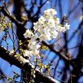 春来  大島桜