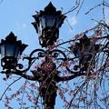 枝垂れ桜と街路灯