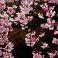 小石川庭園の 桜其の弐