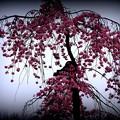 小石川庭園枝垂れ桜其の弐
