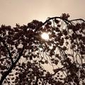 庭園の桜逆光撮影