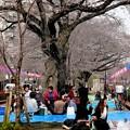 播磨坂 お花見遊歩道