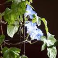 Photos: ブルーの朝顔