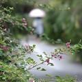 Photos: 雨の萩