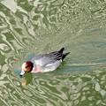 池の鴨さん