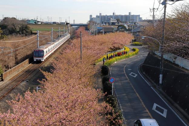 京浜急行と河津桜1