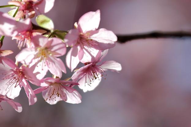 三浦海岸の河津桜3