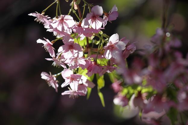 三浦海岸の河津桜4