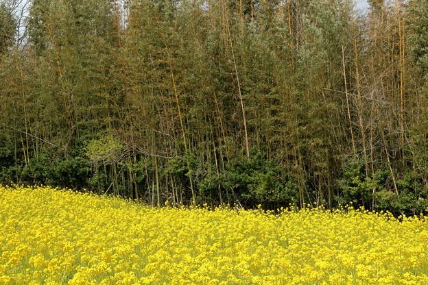 竹林と菜の花