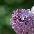 Lilac 5-20-12