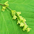 Photos: Moosewood Maple Flowers on the Leaf 5-24-14
