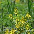 Common Wintercress 5-25-14