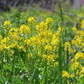 写真: Common Wintercress Flowers 5-25-14