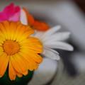 写真: Orange Daisy 8-21-14