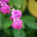 写真: Ornamental Jewelweed in Magenta 8-21-14