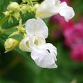 Ornamental Jewelweed in White 8-21-14