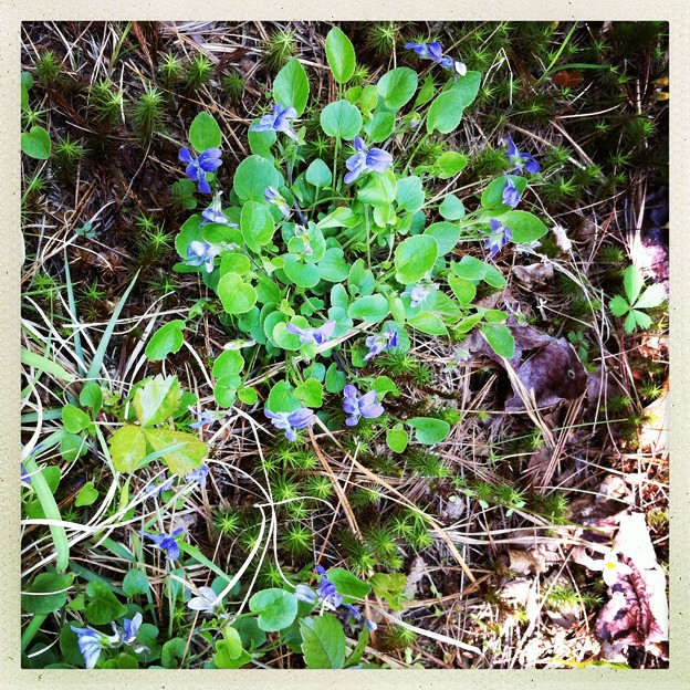 Violets are Blue 5-31-14