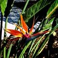 A Bird of Paradise 4-6-16
