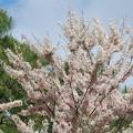 Pink Shower Tree 4-15-16