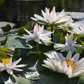 Brazilian Waterlilies 4-21-15