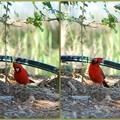 Photos: A Cardinal 4-21-16