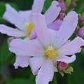 Photos: Rose Cactus 4-21-16