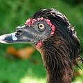 Muscovy Duck 6-4-16